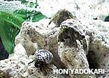 ヤドカリと磯の生き物の飼育